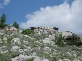 Goats grazing on the mountainside above Risan